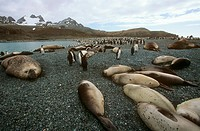 southern elephant seal and king penguins