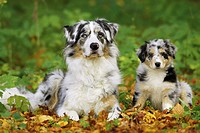 Australian Shepherd with puppy
