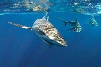 Galapagos sharks (Carcharhinus galapagensis), Oahu, Hawaii