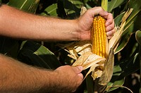 Man holding ear of seed corn