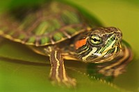 Turtle on leaf