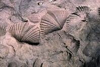 Fossilized brachiopods in Devonian rock found in Ithaca, New York
