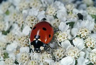Close-up of an adult labybird beetle ladybug on a yarrow flower