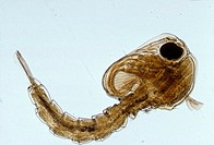 Photomicrograph of a mosquito pupa Anopheles sp Mosquitos of this genus have been cited as the most likely vectors for malaria