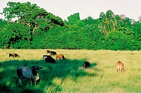 Jamaica, Golden Grove vicinity, cows grazing in a field (thumbnail)
