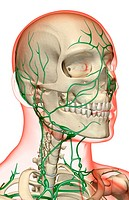 The lymph supply of the head, neck and face