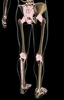 The ligaments of the lower body