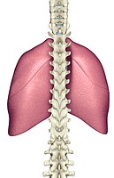 The lungs (thumbnail)