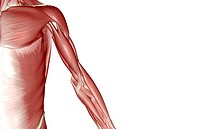 The muscles of the upper limb (thumbnail)