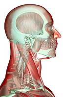 The musculoskeleton of the head, neck and face