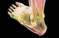 The muscles of the foot