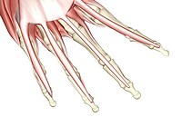 The muscles of the fingers (thumbnail)