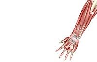 The muscles of the forearm
