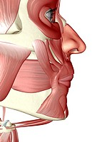 The muscles of the jaw