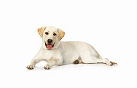 Labrador Retriever lying down