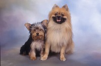 A Yorkshire Terrier puppy and a Pomeranian dog sitting in a studio