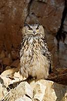 Eagle Owl, Bubo bubo.
