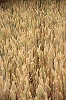 Oat field cereal ear grain , Denmark