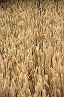 Oat field cereal ear grain , Denmark