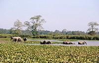 Asian Elephants Herd Elephas maximums endangered mammal , kaziranga national park , assam , india