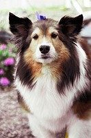 12 -year old Shetland Sheepdog Savannah outside her home in Salem, MA. USA