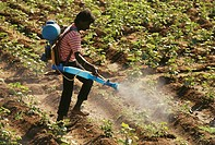 man spraying Pesticides in ground nuts field , india