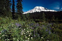 Mt. Rainier with wildflowers in spring, Paradise Park. Washington, USA