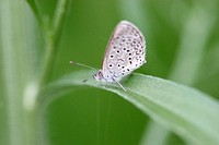 Butterfly white with black dots on green leaf. Malawi