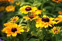 Black-eyed Susan flowers Rudbeckia fulgida