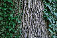 Oak tree trunk, close-up