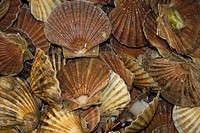 Fresh scallops at a fish market