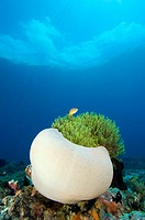 Magnificent sea anemone Heteractis magnifica and a pink anemonefish Amphiprion perideraion  This sea anemone is found throughout the Indo-Pacific regi...