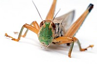 Grasshopper Family Acrididae