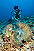 Diver and a giant clam Tridacna gigas  The clam´s mantle tissues contain symbiotic singled- celled dinoflagellate algae zooxanthellae, which provide i...