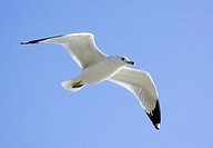 Ring billed gull Larus delawarensis in flight  This gull can grow up to 49 centimetres in length and have a wingspan up to 124 centimetres  It breeds ...