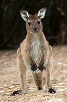 Western grey kangaroo Macropus fuliginosus  This kangaroo is found throughout southern Australia  It has adapted to a variety of habitats including wo...