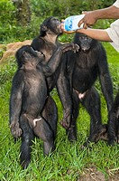 Bonobo apes Pan paniscus being hand-fed milk at a sanctuary  This species of chimpanzee was discovered in 1929  It lives in a matriarchal and egalitar...