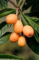 Yellow Loquat , Eriobotrya japonica. Fruits on tree