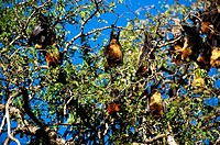 Madagascar Flying Fox (Pteropus rufus). Berenty, Madagascar