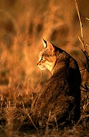 African Wildcat (Felis silvestris lybica). Kalahari-Gemsbok National Park, South Africa