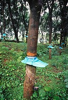 rubber collection at rubber farm , kerala , india