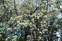 Pyros pasha flower of mehal , ranikhet , uttaranchal , india