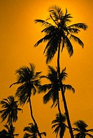 coconut trees in silhouette , manori , bombay mumbai , maharashtra , india