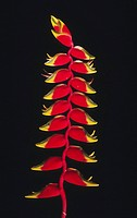 Heliconia flower on black background