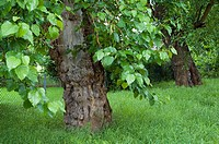 Part of Germay´s oldest mulberry alley in Jatznick, Mecklenburg Western Pomerania,  from the 18th century to start a silkworm breeding, sponsered by k...