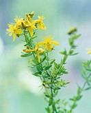 Flowering St  John´s wort