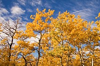 Fall foliage and deep blue sky, Alberta, Canada