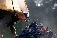 Wine harvest, Maine et Loire, France