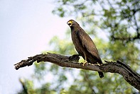 Crested Serpent Eagle, Spilornis cheela at Nagzira Wildlife Sanctuary, Maharashtra, India.