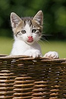 Domestic Cat , Germany, kitten, in a wood basket